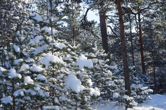 Pine Nursery